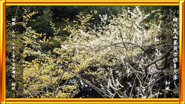 梅の花山茱萸万作