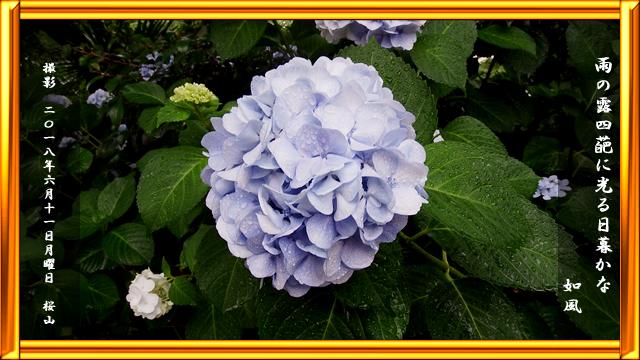四葩(紫陽花)