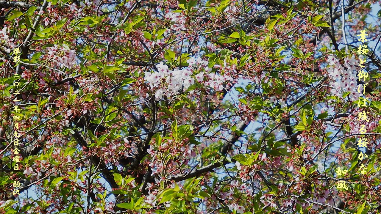 葉桜・残る桜